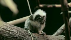 Crested bare-faced tamarin, Saguinus oedipus, the smallest primate - stock footage