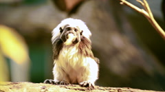 A cotton-headed or cotton-tor or crested bare-faced tamarin, Saguinus oedipus, Stock Footage