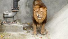 A lion in soft light, making faces on gray background. King of beasts Stock Footage