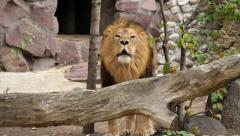 Roaring of a lion in soft light, standing behind the fallen tree. King of beasts Stock Footage