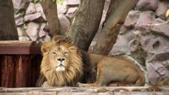 Asian lion in soft light, full-length view, calm lying on tree background Stock Footage