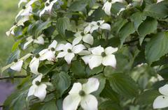 Dogwood in bloom. - stock photo