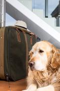 Golden Retriever travel departing - stock photo