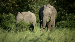 Elephants in African bush Stock Footage