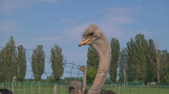 Zoom Close Up Shot of ostriches at the ostrich farm in Ukraine. Stock Footage