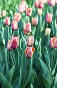 Stock Photo of Spring background with tulips
