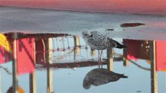 Seagull Prunning Feathers with Symmetrical Reflection in Puddle Stock Footage