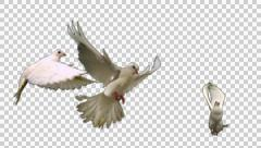 Flock of white doves - alpha Stock Footage