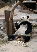 panda bear eating bamboo - stock photo