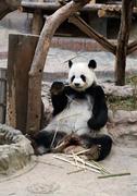 panda bear eating bamboo - stock photo