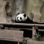panda bear resting - stock photo
