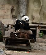Panda bear eating bamboo Stock Photos