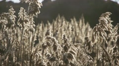 Beautiful dry marsh grass illuminated by sunlight in close up in slow motion Stock Footage
