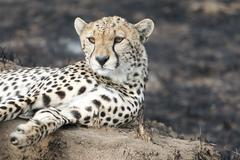 Cheetah sitting on a termite mound - stock photo