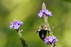 Golden Northern Bumblebee in Flight Stock Photos