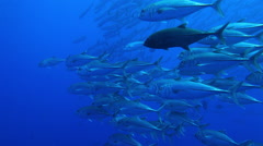 Shoal of fish in the deep blue of the Andaman Sea Stock Footage