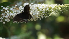 Black Swallow tail Butterfly on butterfly bush Stock Footage