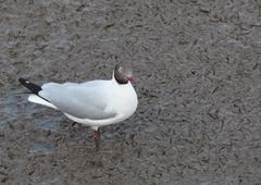 sea gull birds ,brown headed gull in breeding plumage form standing on mud fl - stock photo