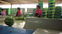 Group of latinas working on watermelon packaging in warehouse, Panama Stock Footage