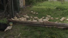A lot of goslings want to overcome the barrier and three of them are getting out - stock footage
