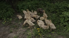 Goslings on the lawn - stock footage