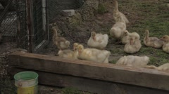 Goslings want to overcome the barrier - stock footage