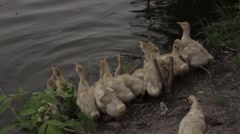 Goslings going to get into the water - stock footage