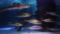 School of Tuna Swimming in Aquarium - stock footage