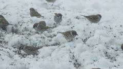 SLOW MOTION: Sparrows eating seeds in snowy winter - stock footage