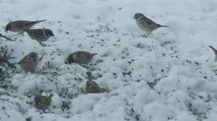 SLOW MOTION: Sparrows eating seeds in cold winter - stock footage