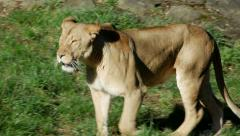 A Lioness Walking, 4K Stock Footage