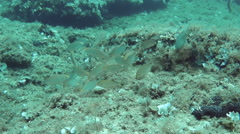 Salema fish feeding Stock Footage