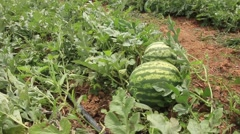 Shot of watermelons ready to harvest, Panama - stock footage