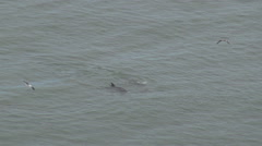 Aerial view cute dolphin playing ocean water splash jump marine animal wildlife  Stock Footage