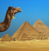 Camel in front of pyramid in Egypt Kuvituskuvat