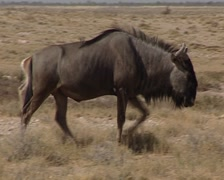 Gnu in the savanah Stock Footage
