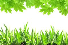 Stock Photo of Maple leaves and green grass