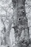 HDR shoot of an very old oak, black an white version - stock photo