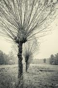 willow trees in a row, in autumn,vintage version - stock photo