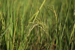 Rice spike in the paddy field - stock photo