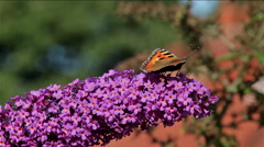 SMALL TORTOISESHELL BUTTERFLY & BUDDLEIA DAVIDII BUSH Stock Footage