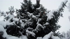 Stock Video Footage of conifer tree in snow in winter view from below