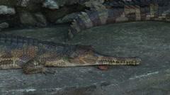 Freshwater Crocodile (Australia) Stock Footage