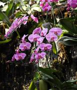 Stock Photo of Phalaenopsis orchid