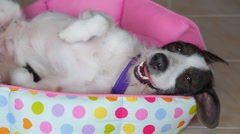 Funny Sweet Dog Lying on Back on Bed Stock Footage