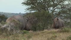 Black rhino backs off from dominant bull. Stock Footage