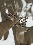 Pair of Bucks Stock Photos