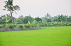 White egret Birds on rice fields at sunset time in Nonthaburi Thailand - stock photo
