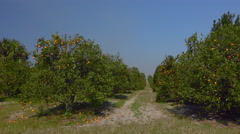 Drive by orange citrus grove - stock footage