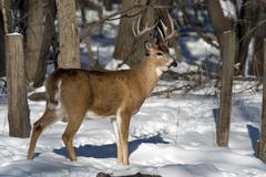 Winter Whitetail Deer - stock photo